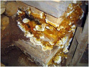 Грибки вредители древесины дерева фото. Борьба с грибками