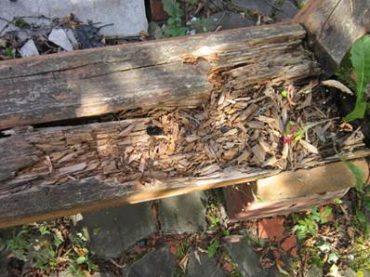 Какие вредители древесины наиболее опасные для деревянного дома