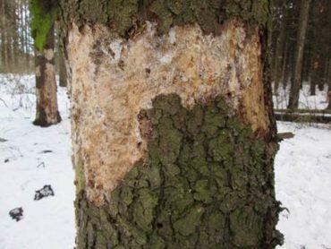 Какие виды древесных вредителей приносят наибольший ущерб древесине? Поможет ли Неомид?