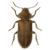 Фото – насекомые вредители древесины дерева